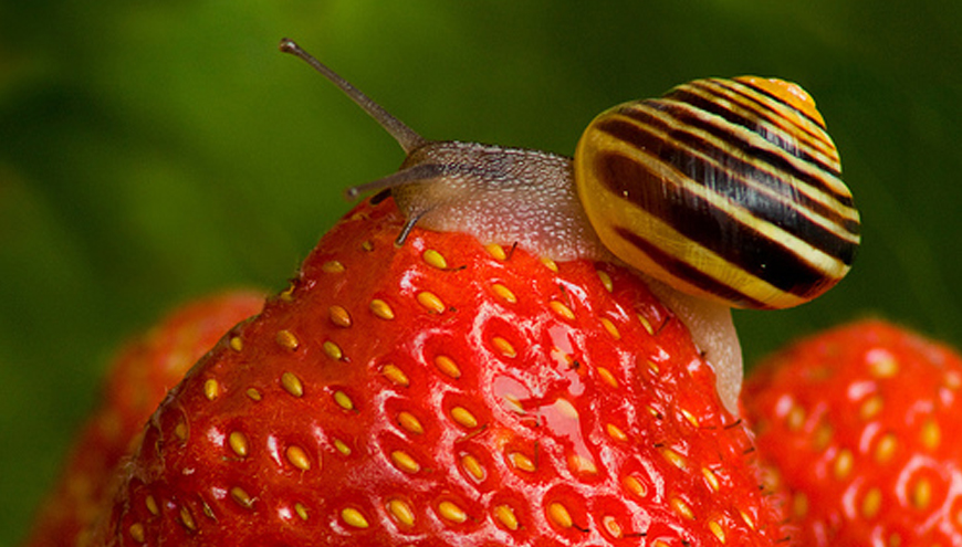 Are there snails in your strawberry patch?